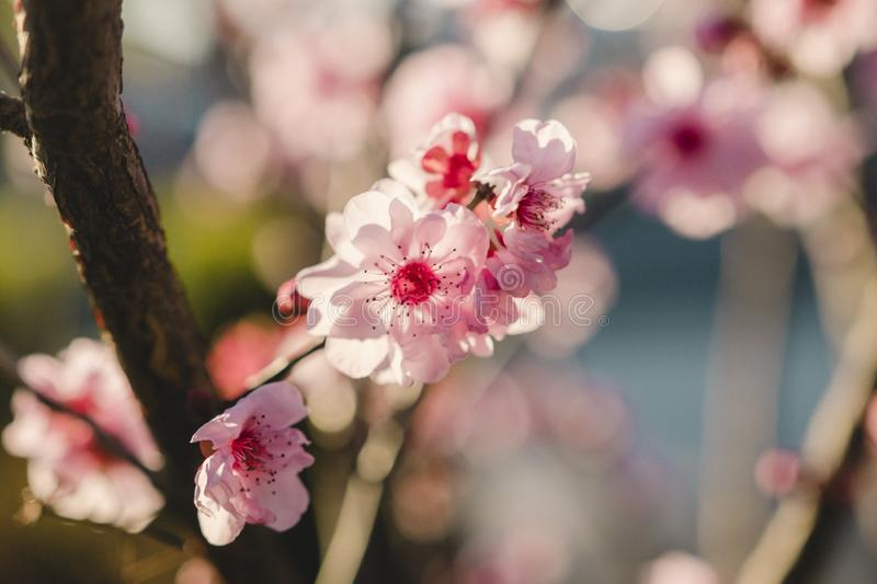 Close up of Cherry Blossoms during Spring time royalty free stock photo