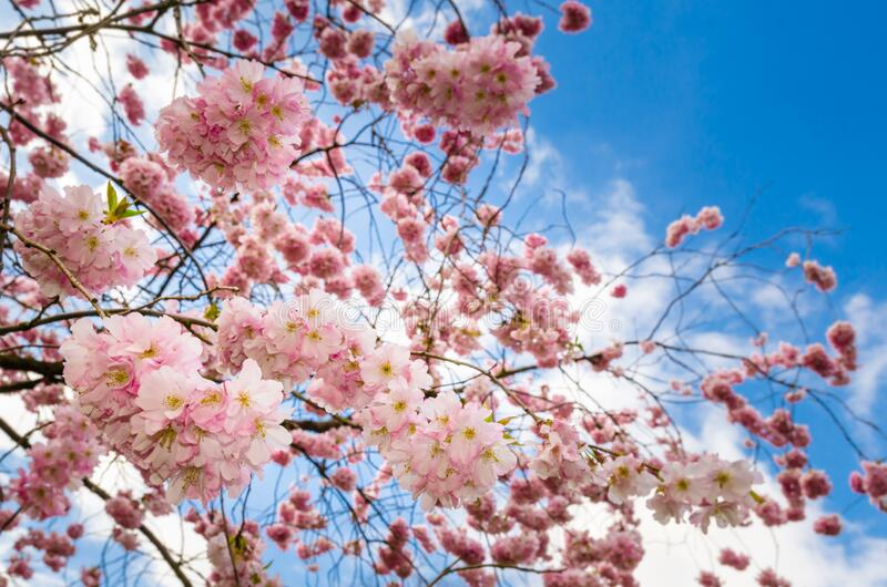 Close up of a cherry tree in full bloom in Central Park, New York, USA stock photos