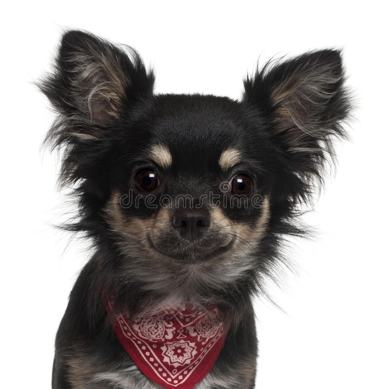 Download Close-up Of Chihuahua Wearing Handkerchief Stock Image - Image: 23089363
