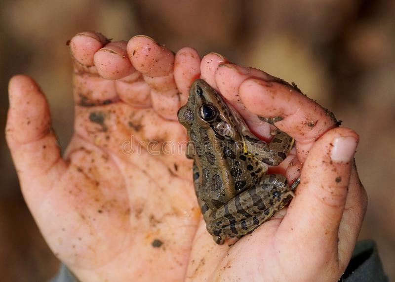 Close up of child holding frog. Child with muddy hands holding a spotted leopard-like frog, Pickerel Frog, Lithobates or Rana palustris stock photo