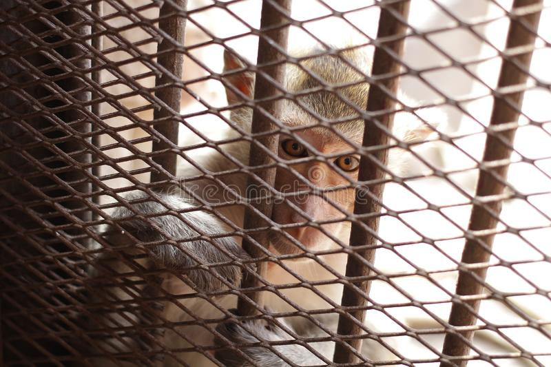 Close-up children Monkey in the cage, eyes are sad, lack of freedom, poor animal behind metal bars in captivity. Home decoration wallpaper stock photos