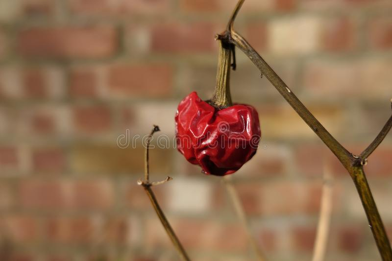 Close up of a chilli pepper shrivelled and withering on a plant, almost dead, with no leaves, in sunshine against a brick wall.  royalty free stock photo