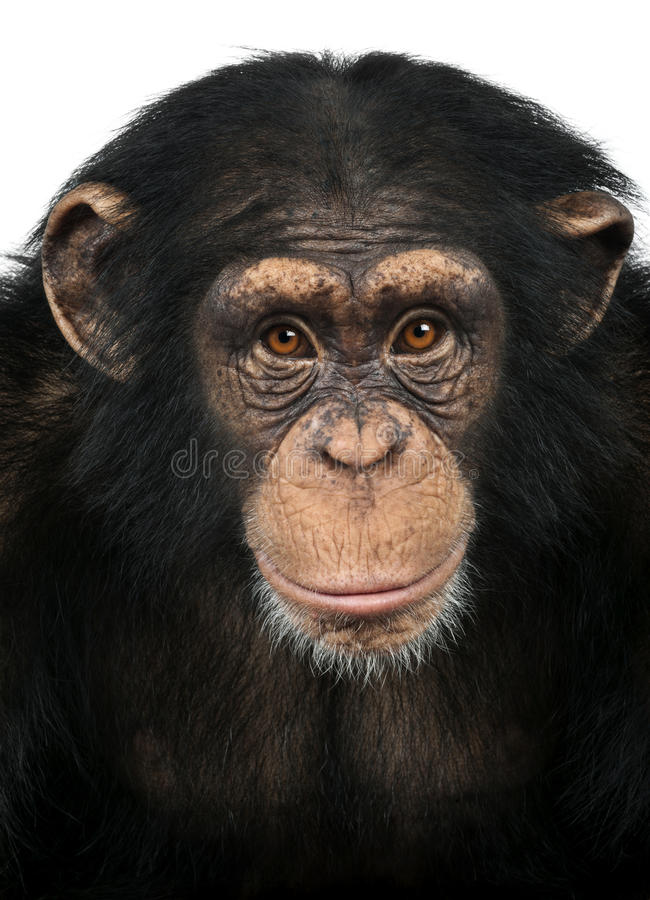 Close-up of a Chimpanzee looking at the camera, Pan troglodytes. Isolated on white royalty free stock image