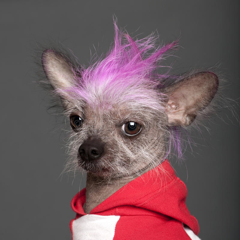 Close-up of Chinese Crested Dog royalty free stock image