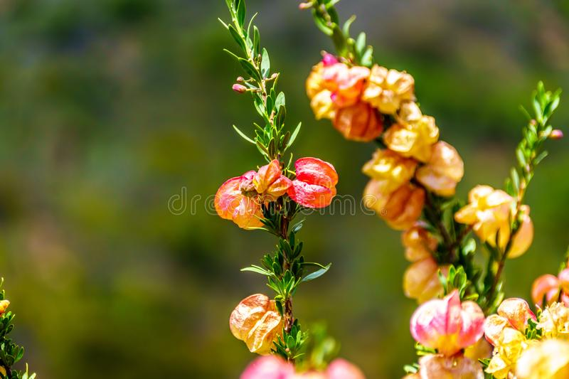 Close Up of Chinese Lantern Tree Flowers in the Little Karoo region of the Western Cape Province. In South Africa stock photo