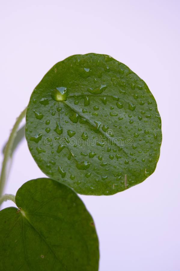 Close-up of chinese money plant stock image
