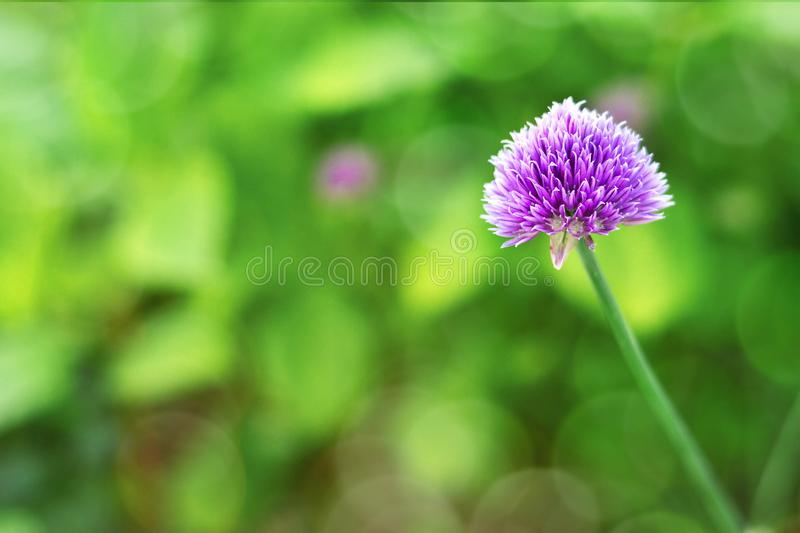 Chive flower on green background with copy space. Close up of chive flower on green background with copy space stock photography