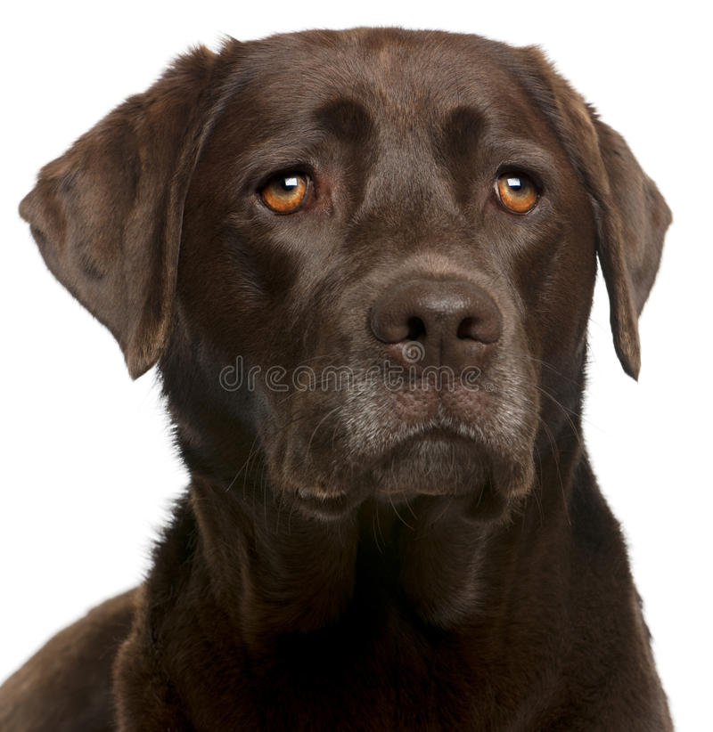 Close-up of Chocolate Labrador, 4 years old. In front of white background stock photos