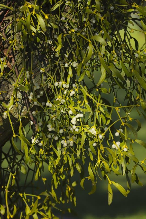 Close up Christmas mistletoe viscum album royalty free stock photos