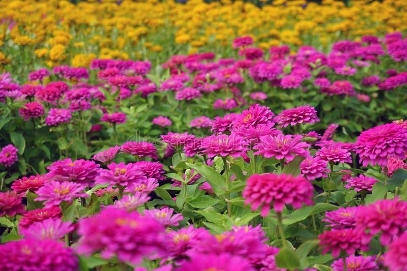 Chrysanthemum flower in the garden. Close up chrysanthemum flower in the garden royalty free stock image