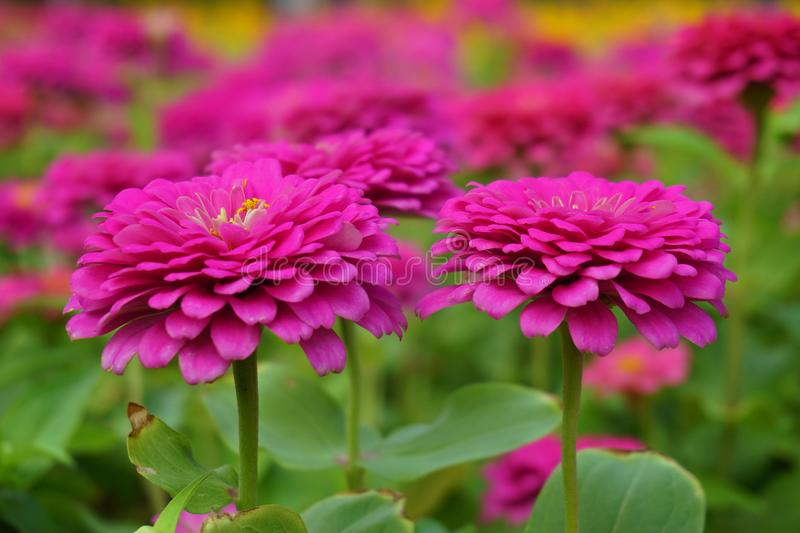 Chrysanthemum flower in the garden. Close up chrysanthemum flower in the garden royalty free stock images