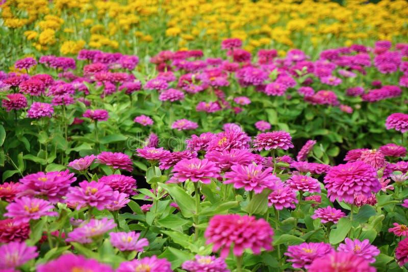 Chrysanthemum flower in the garden. Close up chrysanthemum flower in the garden stock image