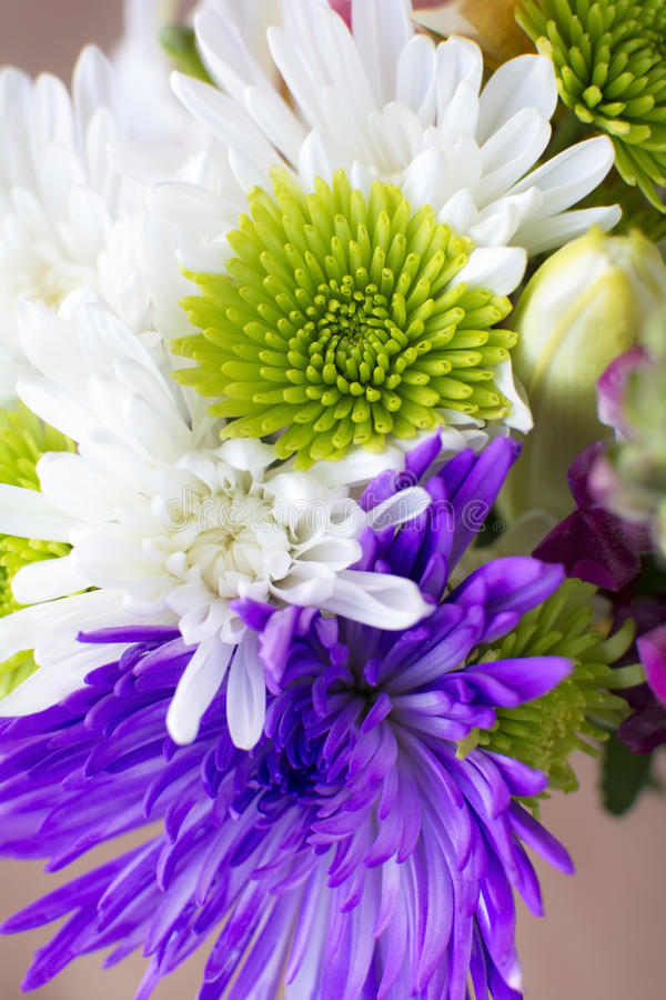 Close up chrysanthemum flower. Close up green white and purple chrysanthemum flower background stock images