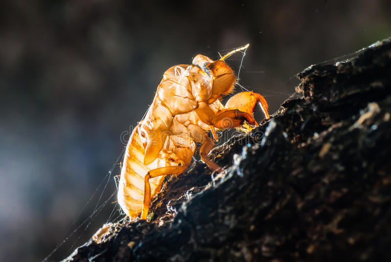 Close up cicada shell which leave on the tree stock photography