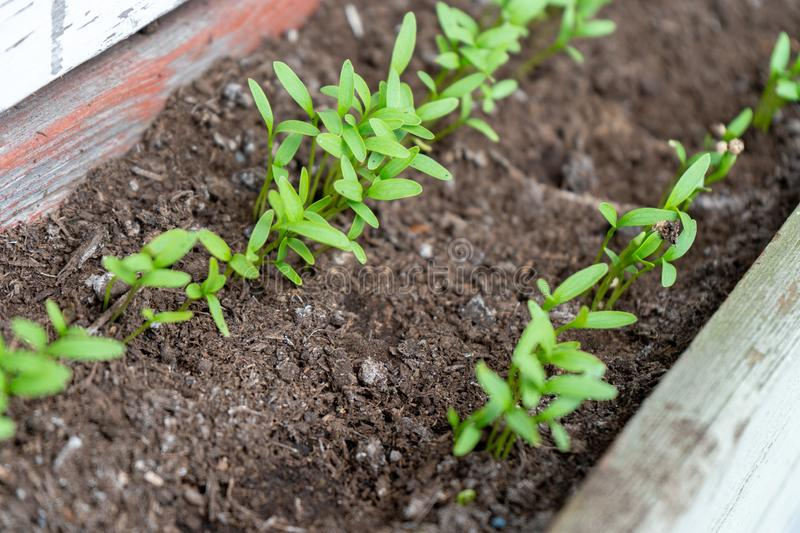 Close up of cilantro coriander seedlings, sprouting as microgreens, in a row, in a garden planter, using compost soil royalty free stock photos