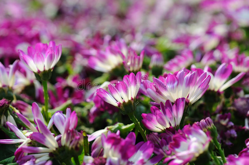 Close up of cineraria. Close up of beautiful pink cineraria royalty free stock image