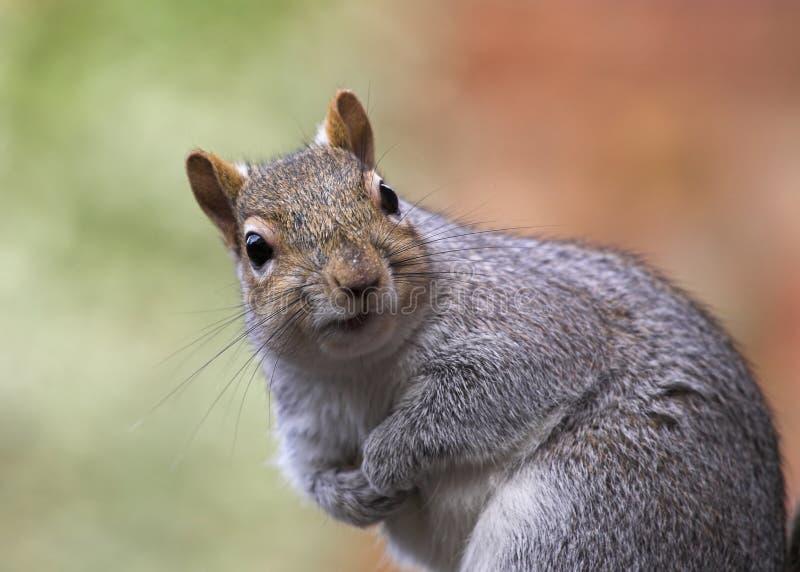 Close up cinzento do esquilo fotos de stock royalty free