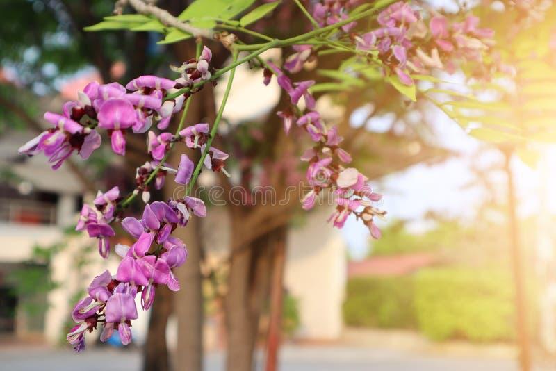 Close-up, claro - flores roxas bonitas na natureza na manhã, esperando para receber a luz solar em um dia agradável no inverno em imagem de stock