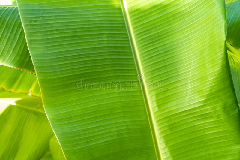 Close up cleary Banana leaf pattern with earmark and flaw at the rim of leaf for any graphic background. Close up cleary Banana leaf pattern with earmark  and stock image