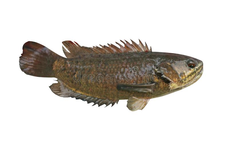Climbing perch fish ,Freshwater fish isolated on white background royalty free stock photography