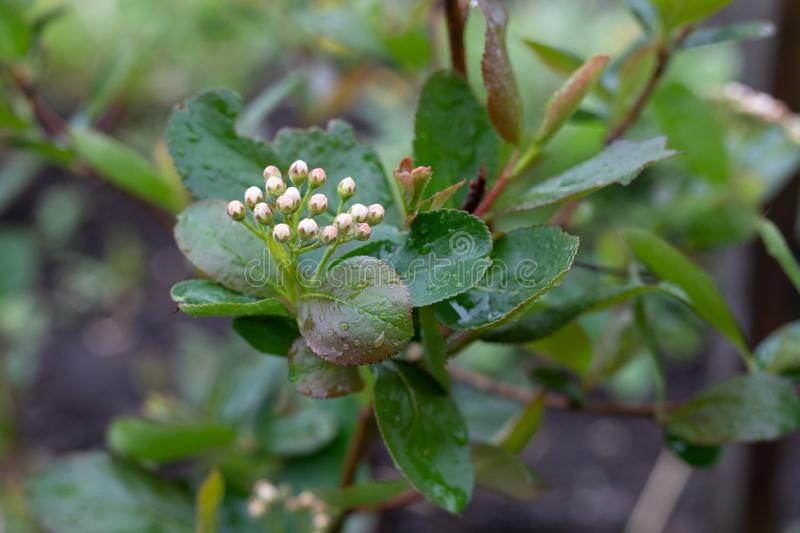 Close-up of closed, unblown chokeberry flowers. Spring stock photography