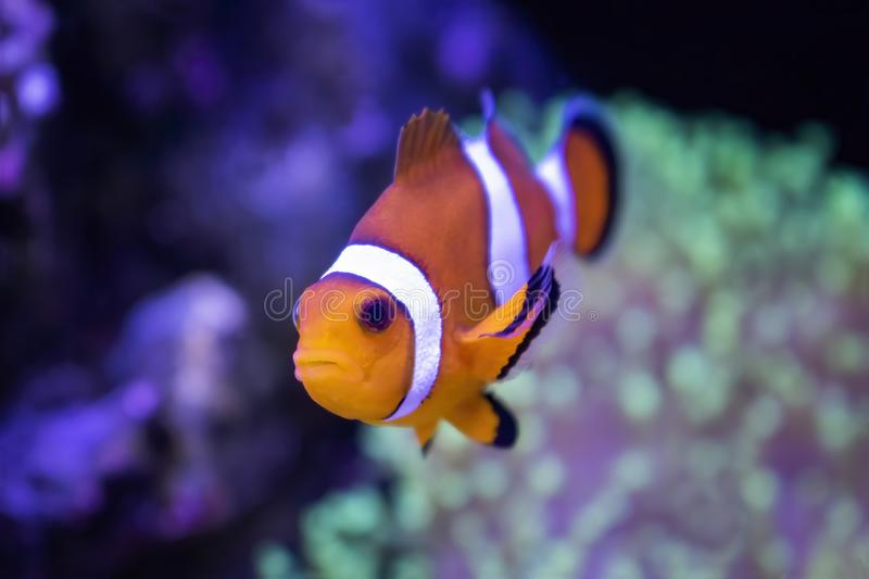 Close Up Clown Fish Tropical Orange and White in Fish Tank royalty free stock photos