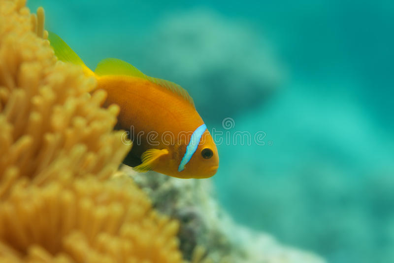 Close-up of clownfish in anemones. Close-up of one clownfish in anemones with corals on background stock image