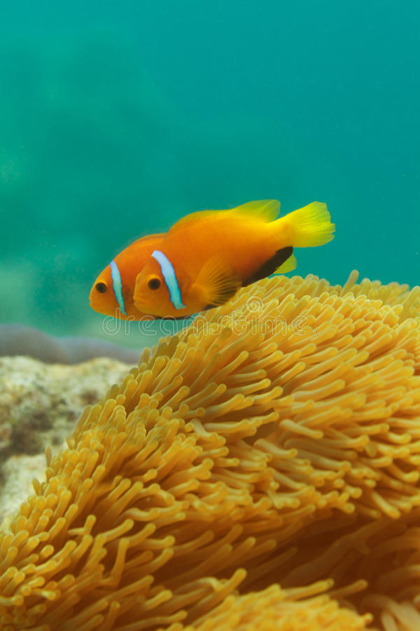 Close-up of clownfish couple. Swimming among anemones stock images