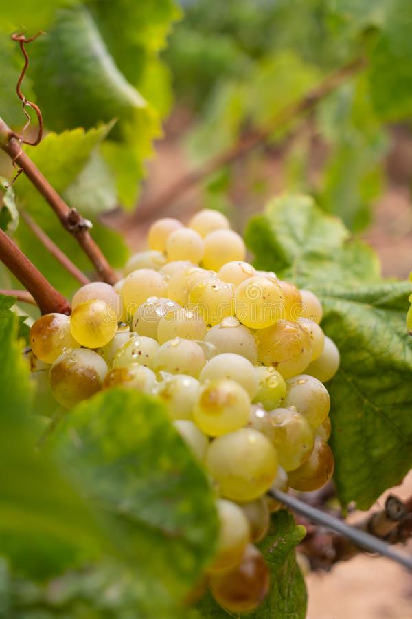 Cluster of ripe white grapes royalty free stock photos