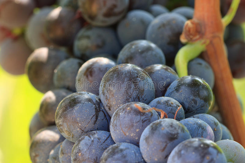 Close up of Cluster of wine grapes stock images