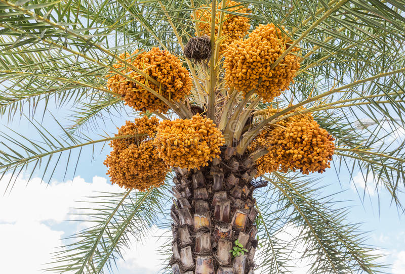 Close up clusters yellow ripe dates Phoenix dactylifera royalty free stock image