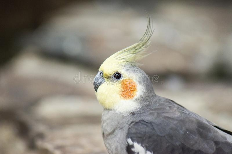 Close up of a Cockatiel royalty free stock photography
