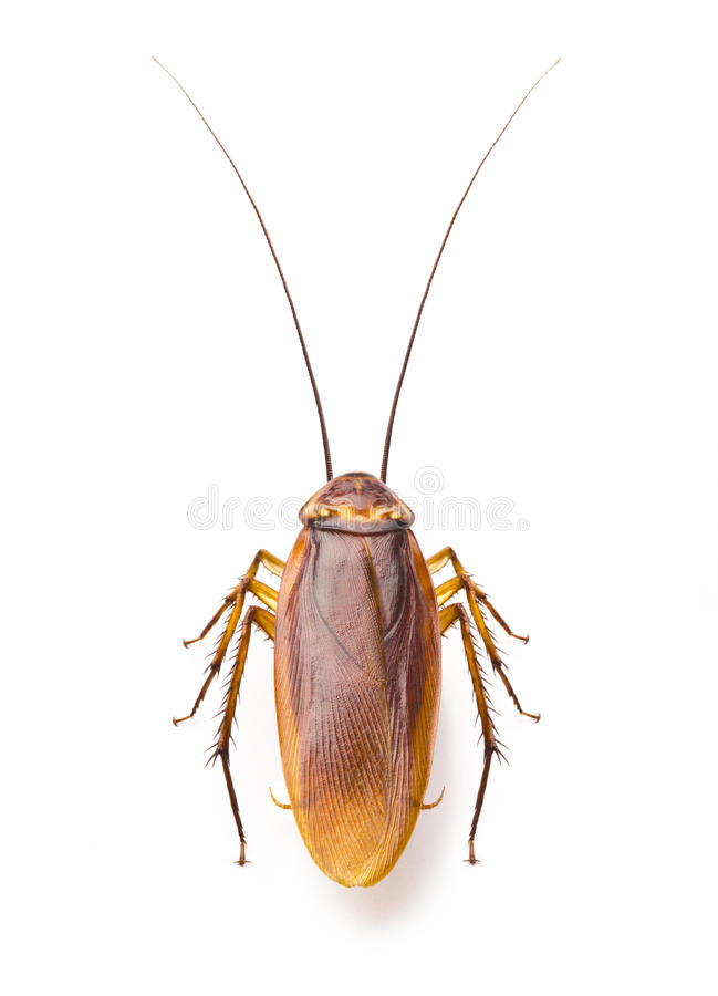 Close up cockroach on white background stock images