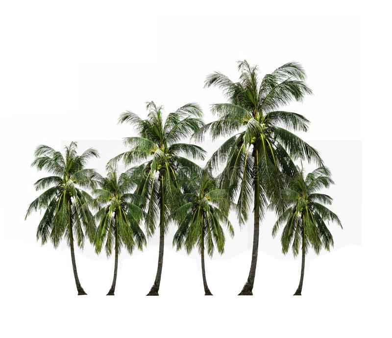 Close up coconut palm tree isolated on white background. stock photo