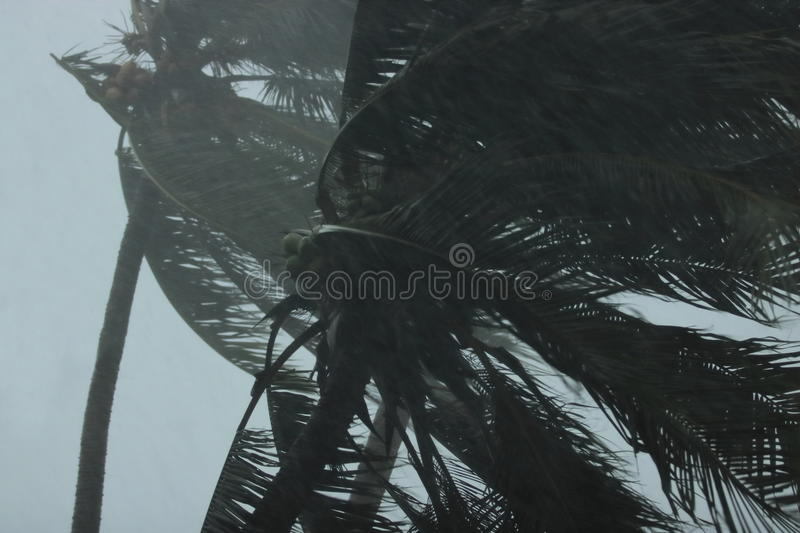 Close up coconut palms tree during heavy wind or hurricane. Rainy day royalty free stock image