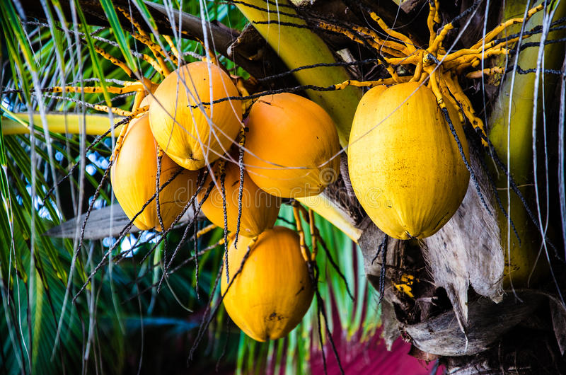 Close up coconut tree with bunch of yellow fruits hanging. Close up on coconut tree with a bunch of yellow fruits hanging royalty free stock images