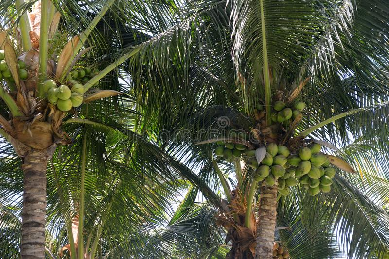 Coconuts in the palm trees. Close up of coconuts in the trees on a sunny day stock image