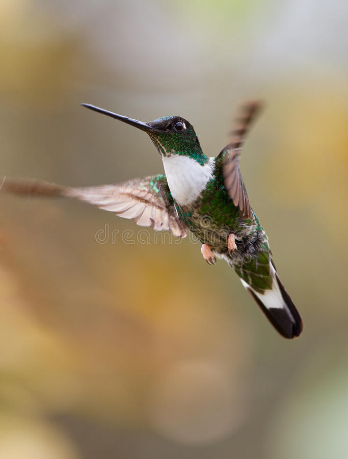 Close-up of Collared Inca. A close-up of a male Collared Inca (Coeligena torquata) in hovering flight royalty free stock images