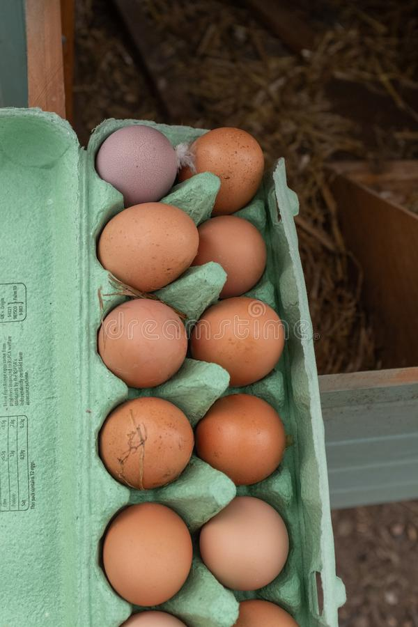 A collection of brown free range chickens eggs and one purple egg sitting in an egg box having just been collected. royalty free stock photos