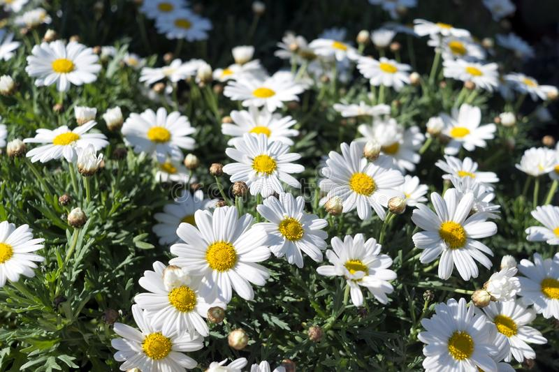 Close up of a collection of daisies stock photo