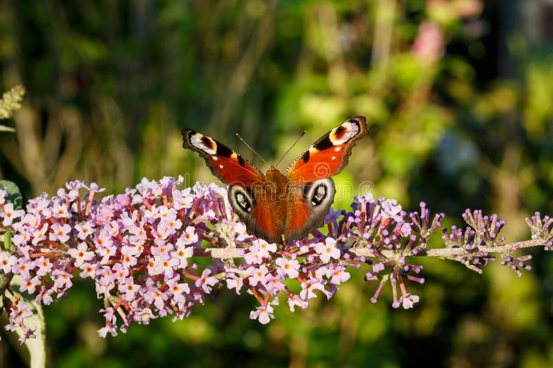 Close up of colorful aglais european peacock getting nectar from pink butterfly bush. Shallow depth of field. stock photo