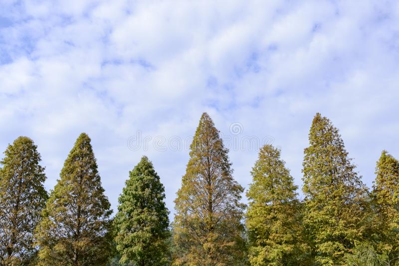 Close-up of bald cypress trees with colorful leaves in autumn royalty free stock images