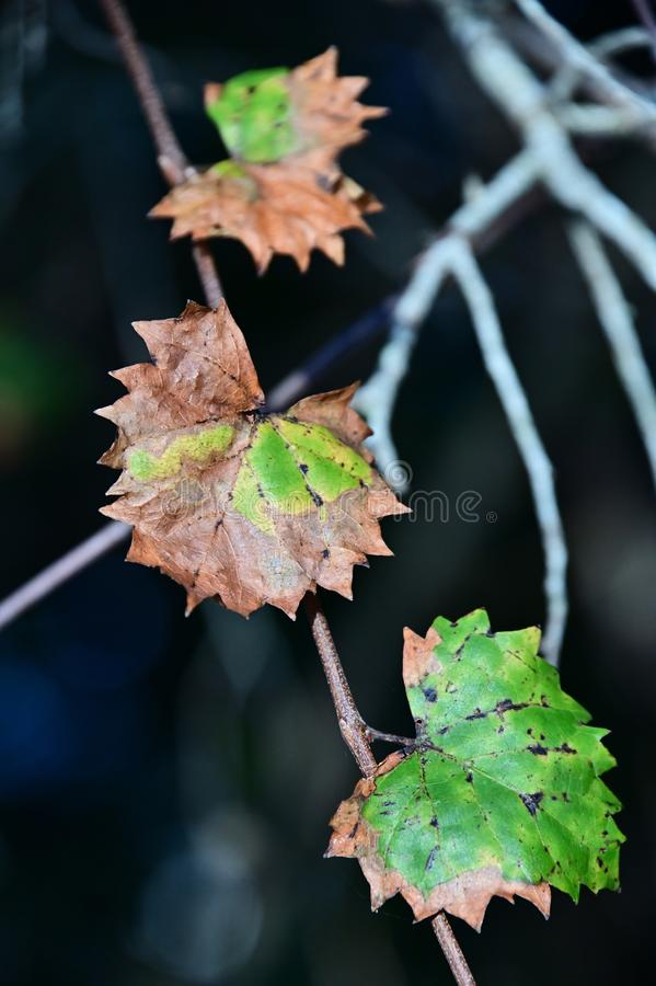 Close up of colorful Autumn leaves. stock photography