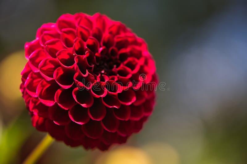 Close up of a Colorful Carmine Dark Red Dahlia Pom Pom or Ball Dahlia on a garden. royalty free stock photography