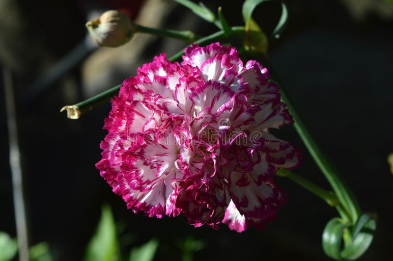 Close-up of a Colorful Carnation Flower, Nature, Macro. Natural Background stock photography