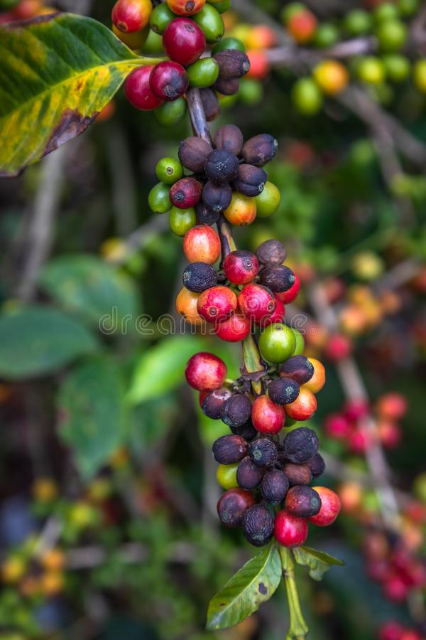 Coffee Beans on Trees. Close up of colorful coffee beans on the tree. Only the deep reds are ready to picked up by hand. Photo taken in a Farm located in royalty free stock images