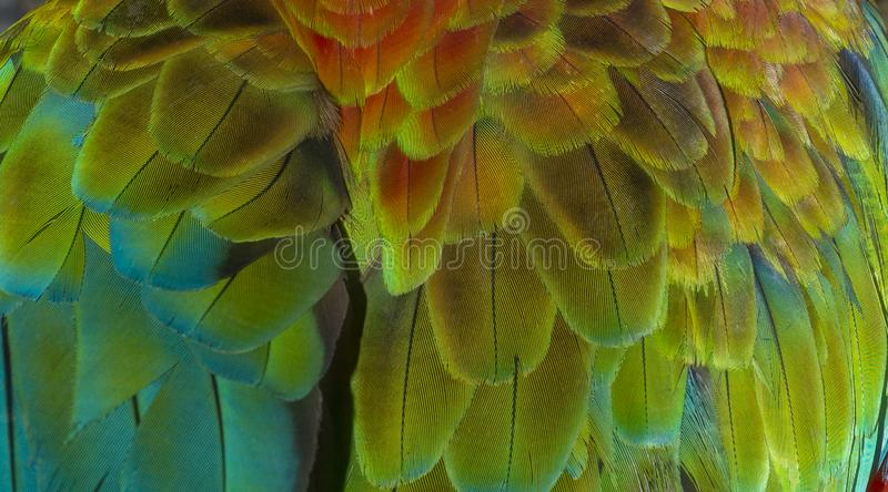 Close up Colorful of Double Catalina Macaw Hybrid between Catalina Macaw and Catalina Macaw bird`s feathers with red yellow o stock photo