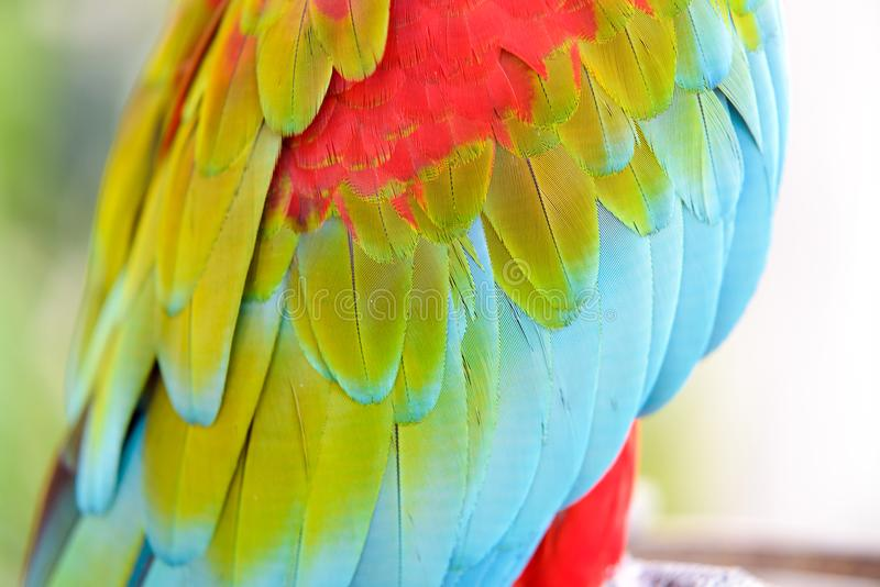 Close-up of Colorful feather Scarlet Macaw, nature background and texture. Close-up of Colorful feather Scarlet Macaw, exotic nature background and texture royalty free stock images