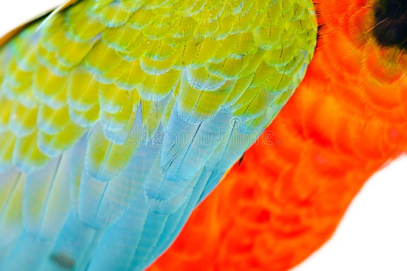 Close-up of Colorful feather Scarlet Macaw, nature background and texture. Close-up of Colorful feather Scarlet Macaw, exotic nature background and texture royalty free stock image