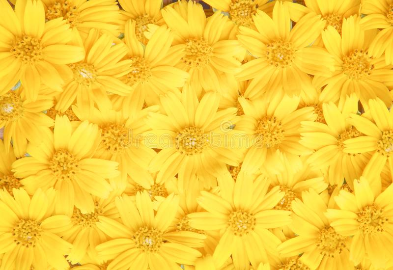 Colorful flower yellow petal blooming or  sweet singapore daisy texture top view patterns for natural background royalty free stock photography